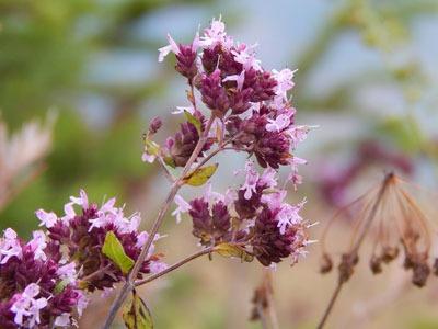 Aceite esencial de mejorana: Thymus Mastichina HerbEssential Oil