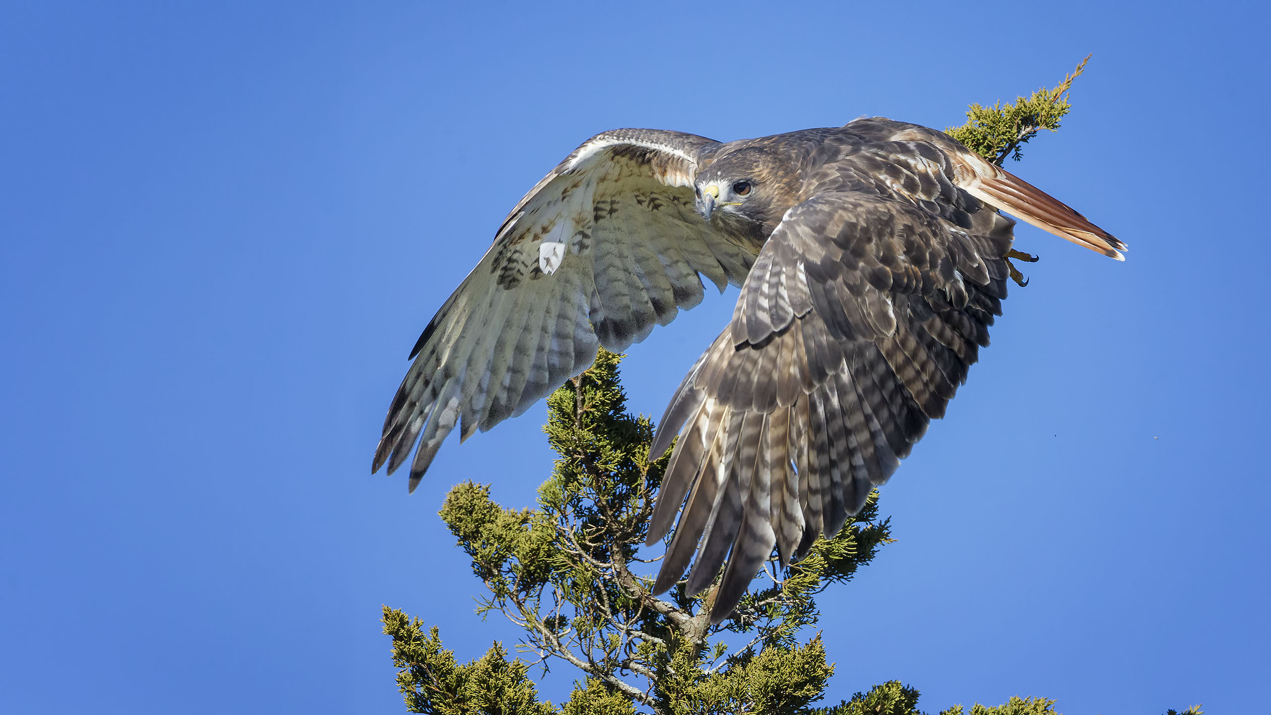 Red Tailed Hawk A Visitor From The North Spending Early Winter Months In