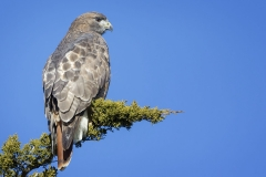 Red-tailed Hawk, a visitor from the north spending the early winter months in the Ipswich Neck area