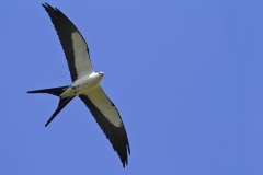 A Swallow-tailed Kite with a Katydid for breakfast in it's talon over Corkscrew Swamp Wildlife Refuge Naples, FL