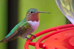 A Broad-tailed Hummingbird at Beatty's Ranch just south of Sierra Vista, AZ in 2010