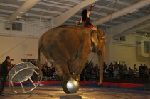 Elephant all on a ball