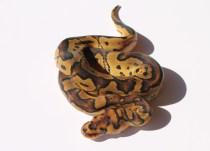 Clown ball python
