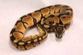 Het clown ball python
