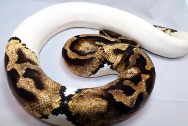 Pie bald ball python