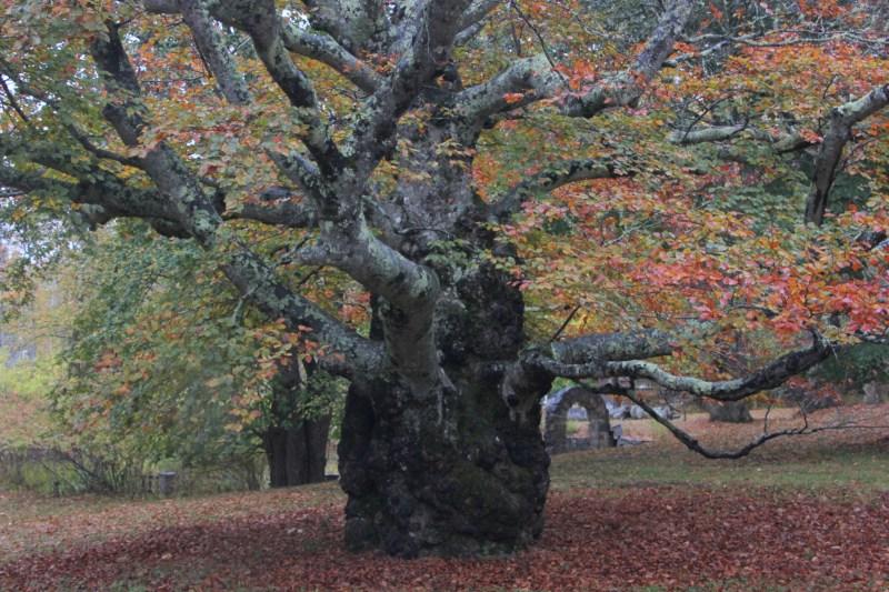 giant old beech