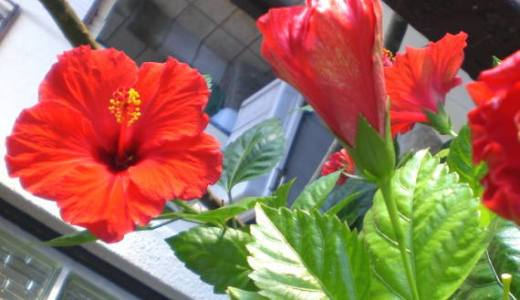 ハイビスカスの寿命は?鉢植えのハイビスカスは意外と寿命が短いです。