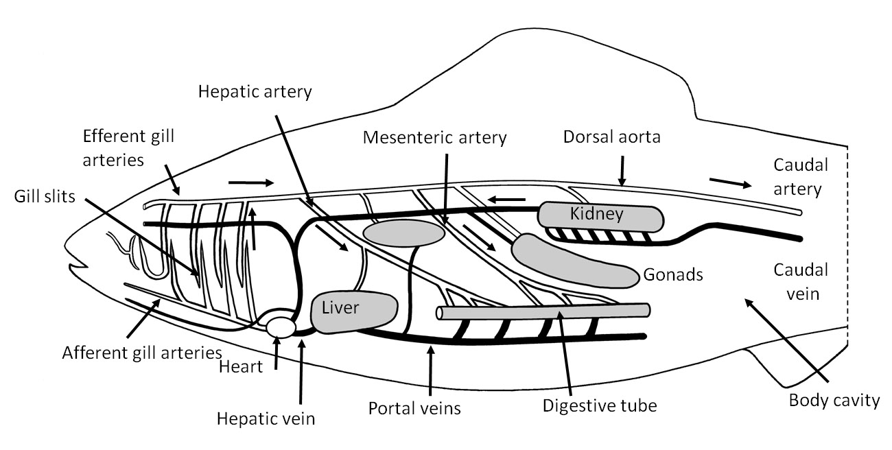 » Circulatory system