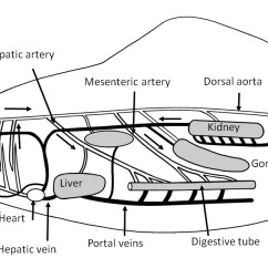 Labelled Diagram Of A Tilapia Fish Wiring Volvo Xc90 2004 Label Best Library U00bb Circulatory System Dissected With