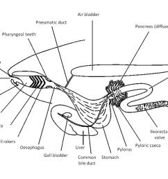 digestive fig 1 web [ 1024 x 768 Pixel ]