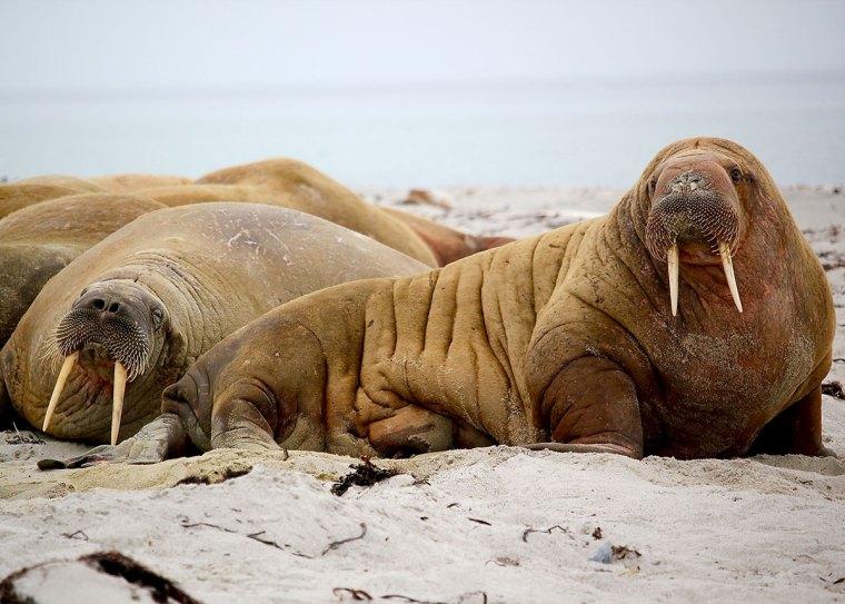 are walrus dangerous