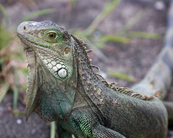Green Iguana Puerto Rico A Bird39s Eye View