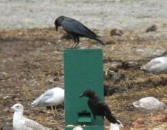 Crow vending machine