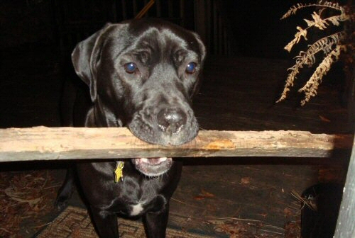Hellpuppy Kora, Vampire Attack Dog