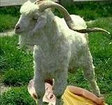 Goat trauma