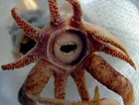 Promachoteuthis sulcus