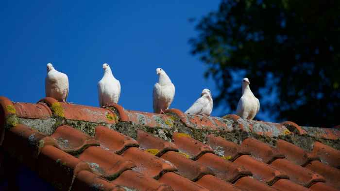 five white pigeons or doves on a rooftop Top Ways to Tell if Your Home needs a New Roof