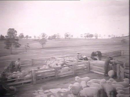 sheep drafting 2 nsw lib