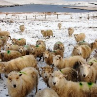 Scottish wool