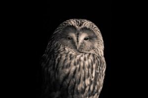 The Ural Owl