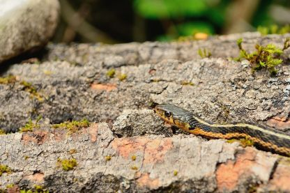 Close-up of snake on Flowerpot Island