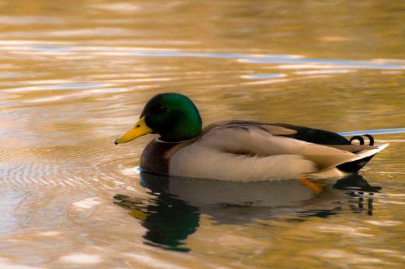 03_duck