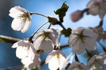 05_close_up_blossoms