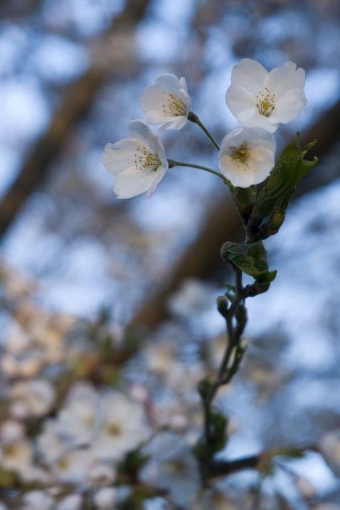 06_tall_blossom