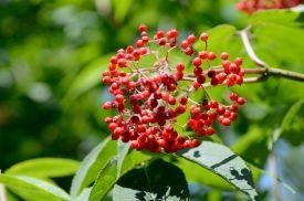 28-berries_1