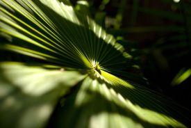 palm_leaf