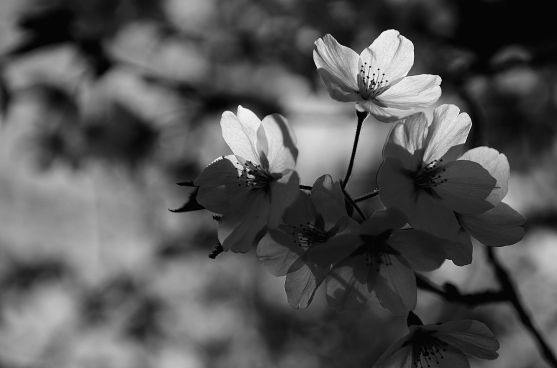 black and white cherry blossoms