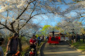 High Park train and cherry blossoms