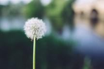 Dandelion In Daytime Free Stock - Negativespace