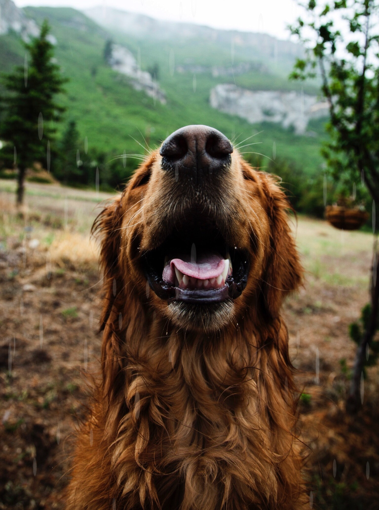 Happy Dog Smile Free Stock Photo  NegativeSpace