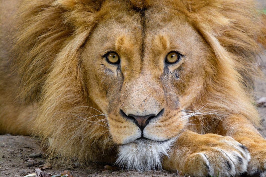 lion face free stock