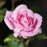 Dedicarse a Cultivar Rosales – Plantas Exclusivas
