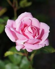 Dedicarse a Cultivar Rosales
