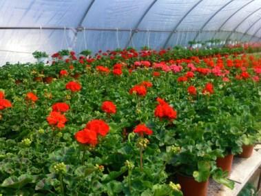 négy-évszak-kertészet-siófok-áruda- (8)