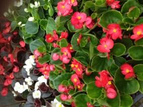 Muskátli-egynyári-virágok-Négyévszak-Kertészet-Siófok (3)
