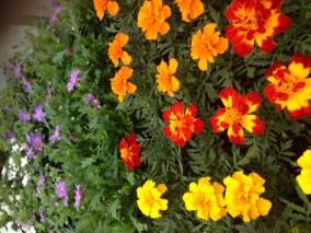 Muskátli-egynyári-virágok-Négyévszak-Kertészet-Siófok (4)