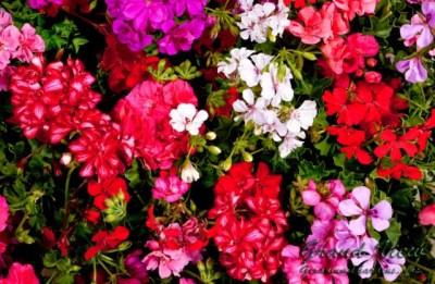 Muskátli-egynyári-virágok-Négyévszak-Kertészet-Siófok (8)