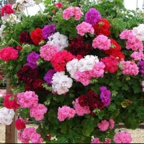 Muskátli-egynyári-virágok-Négyévszak-Kertészet-Siófok (9)