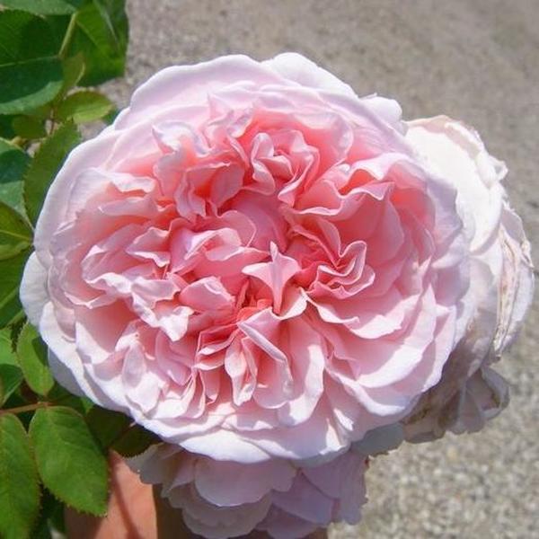 auswith-rosa