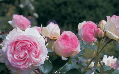Éden Rose 85