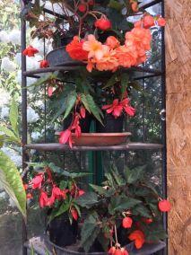 Csüngő begonia