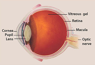 parts of the eye diagram and function 7 way blade trailer wiring facts about glaucoma national institute optic nerve is a bundle more than 1 million fibers it connects retina to brain see above light sensitive