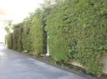 Podocarpus gracilior Hedge 14ft - Neighborhood Nursery