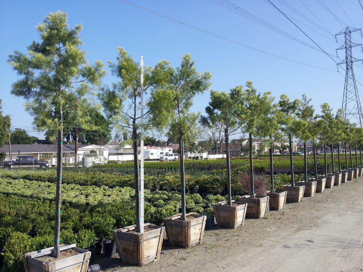 Podocarpus gracilior  Neighborhood Nursery