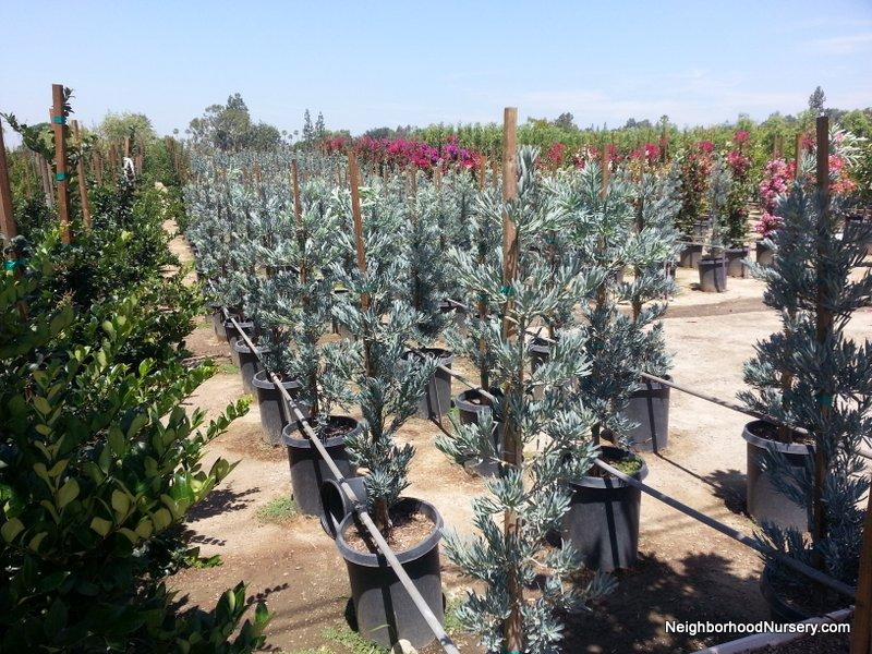 Podocarpus elongatus Icee Blue column 15 20150618