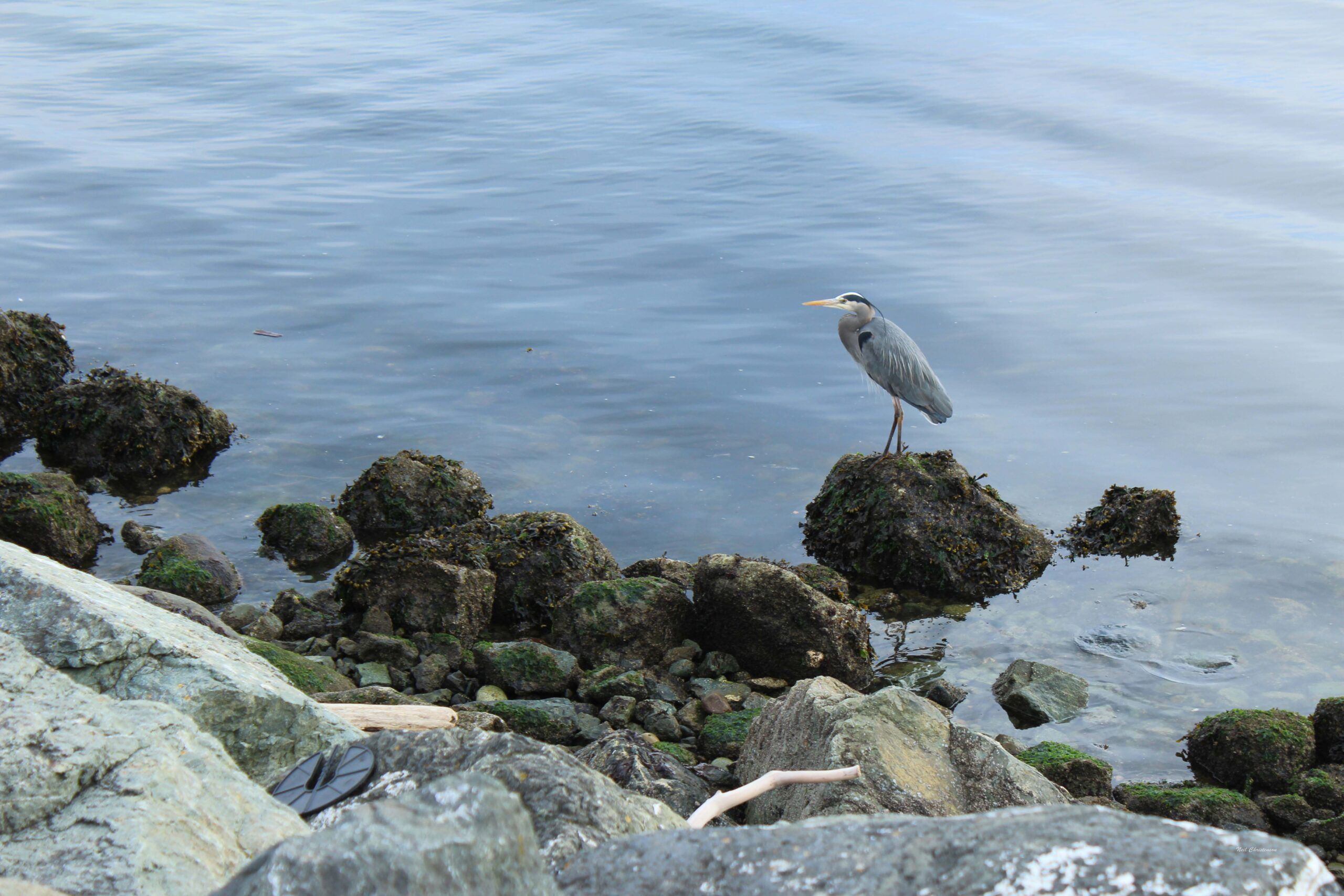 A heron standing on a rock in Keystone Harbor on Whidbey Island.